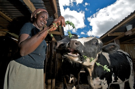 On the face of it, women getting in the cow business might look innocent, but it is  secretly subversive (ILRI photo).
